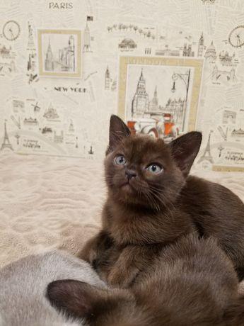 Бурманская кошка. 2.5 месяца. В разведение