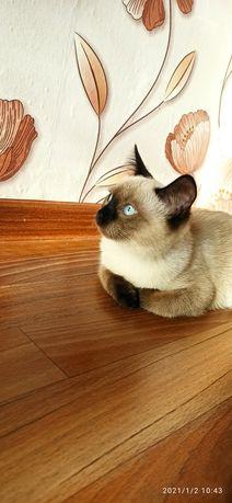 Вязка. Кошечка тайской породы. Бесплатно