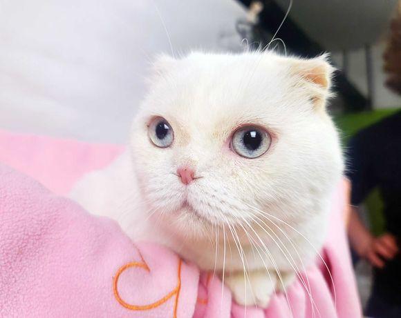 Спокійний котик Плюш 1 рік, метис шотландської вислоухої, кіт, білий