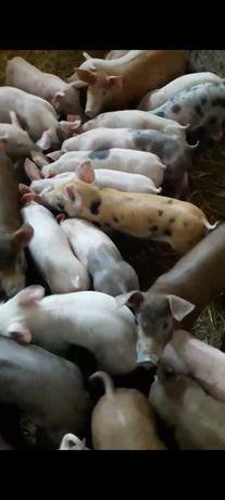 Продам  свиньи поросята поросят на откорм