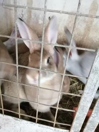 Vendo coelhos para consumo próprio ou para criação