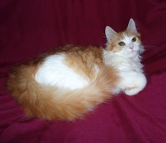 Бело-рыжая, пушистая, очень красивая кошечка Земфира.