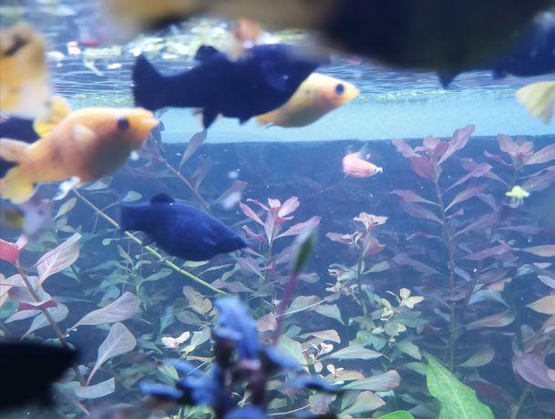 Peixes Molly's variadas