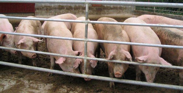 Продам свиней домашних