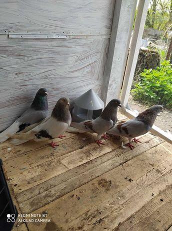 продам голуби миколаївські