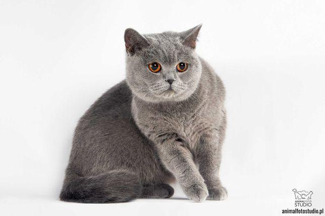 kotka brytyjski kot rasowy