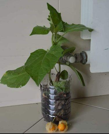 Plantas Phisalis