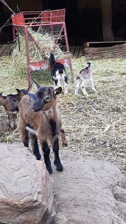 Vendo cabras e cabritas