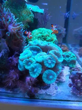 Koralowce Caluastrea Miętowa