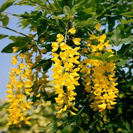 Бобовник золотистый  (глициния желтая) Laburnum