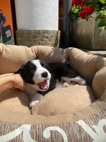 Продаються собаки Бордер-колі