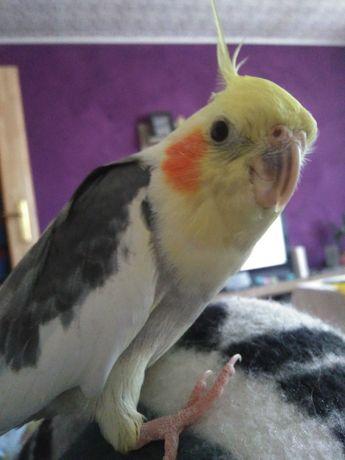 Zaginela papuga nimfa
