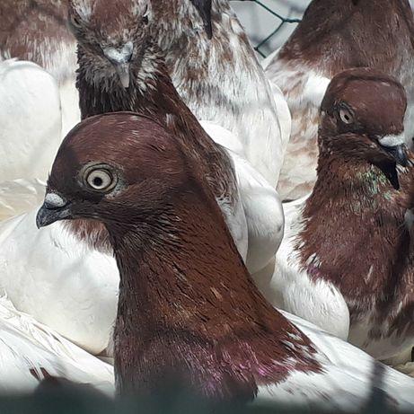 Gołąb Gołębie Budapeszty miedziane