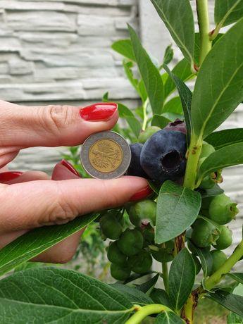 Krzewy Borówki amerykańskiej Dużo owoców. Brzeg Hala targowa w soboty