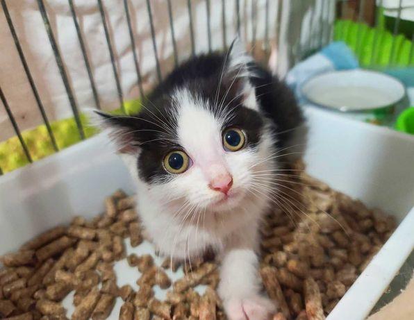 Котенок Жорик, 1.5 мес. Черно-белый малыш ищет дом. Кот.Котик.Котята