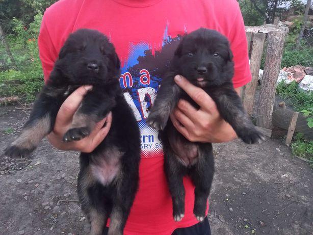 Продам щенков немецкой овчарки рабочего разведения