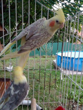 Продам Корелл попугаїв пара