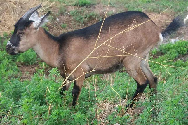 Коза козочка  козлята