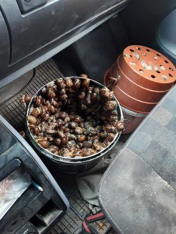 Hodowla ślimaków skup sprzedam