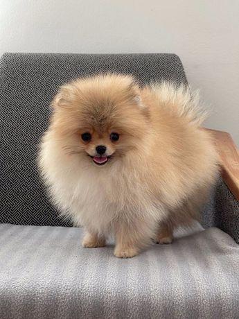 Szpic Miniaturowy Pomeranian (Rudy Chłopak)