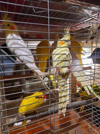 Продам молодых попугаев карелла нимфа