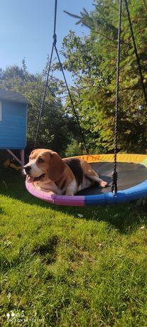 Beagl Beagle suczka