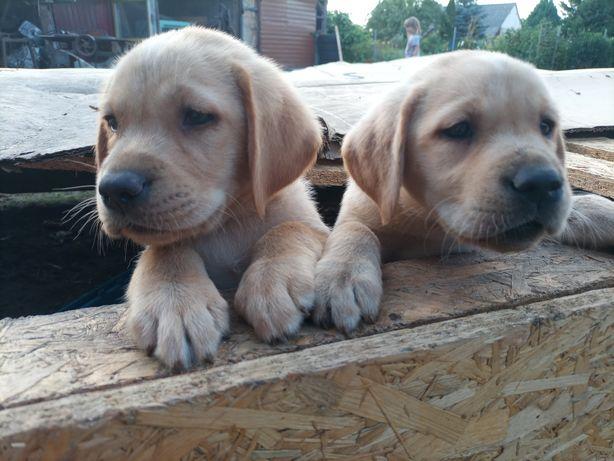 Szczeniaki Labradora gotowe do odbioru