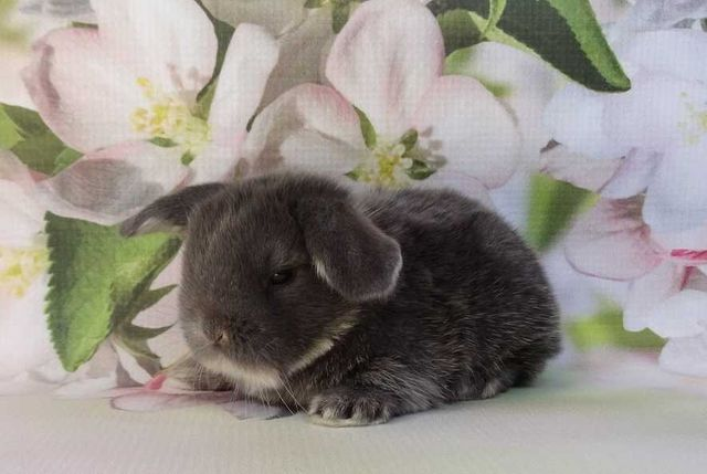 Króliczki króliki Mini lop! Miot H!