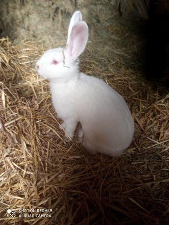 Sprzedam króliki samice rasy termondzkiej