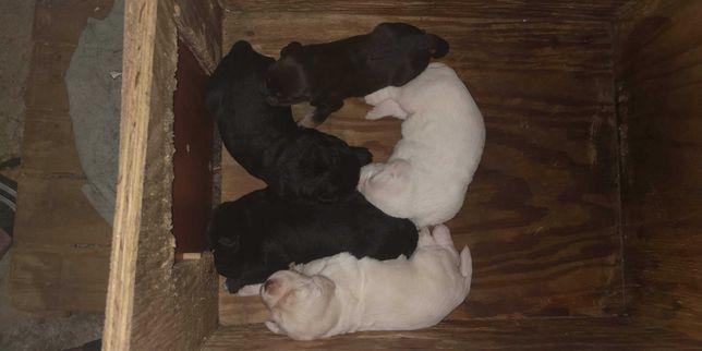 Cães para adoção/arraçados de lavrador