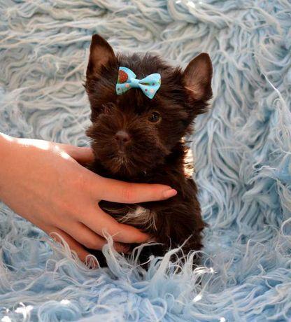 DIXI Yorkshire Terrier York czekoladowa suczka z rodowodem