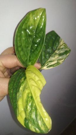 Monstera karstenianum variegata