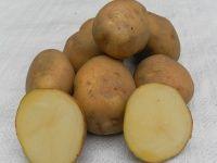 Ziemniaki sadzeniaki Impresja/Denar/Lord/Werbena/Jurek kl A