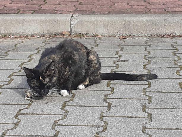 Znaleziono kotkę szylkretkę przy ul. Malinowej, Bialystok.