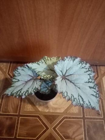 Продам бегонию декоративно лиственную лёгкая в уходе. Самовывоз только