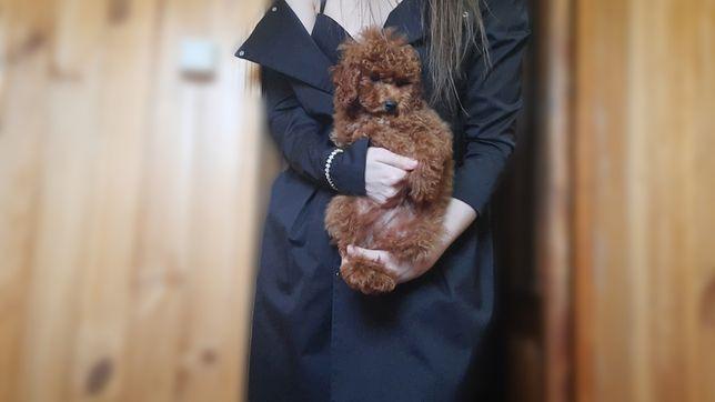 Teddy poodle, любимый мальчик!