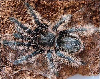 Харьков самка брахипельма альбопилосум L7-8