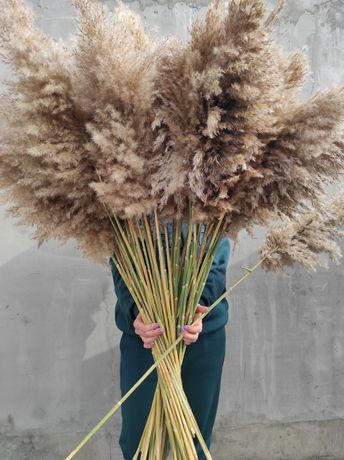 Сухоцвет тростника, пампасная трава, тростник