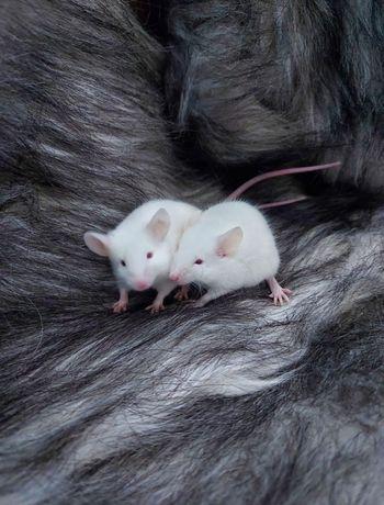 Myszka do adopcji