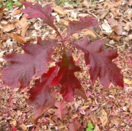 Красный дуб Обычный дуб Береза Клен