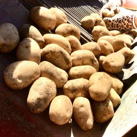 Sprzedam Ziemniaki Jadalne  Denar,Awanti,Colombo