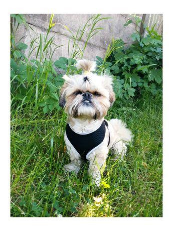 Szelki Puszorek S dla psa w typie rasy Shih tzu Szpic York Buldog