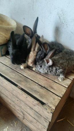 Sprzedam młode króliki samce