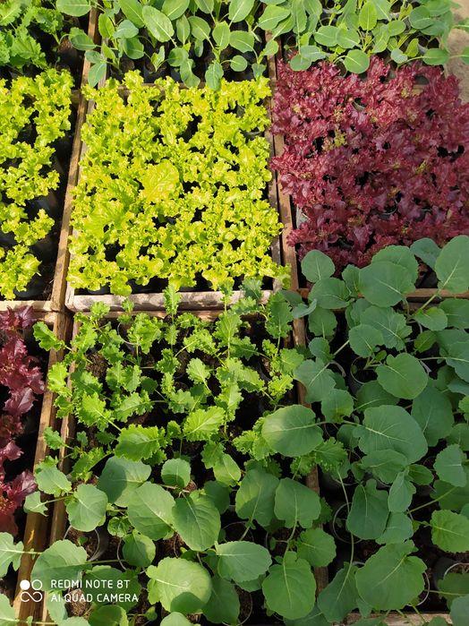Rozsada warzyw seler, por, kalarepa, kapusta, sałata Grotniki - image 1
