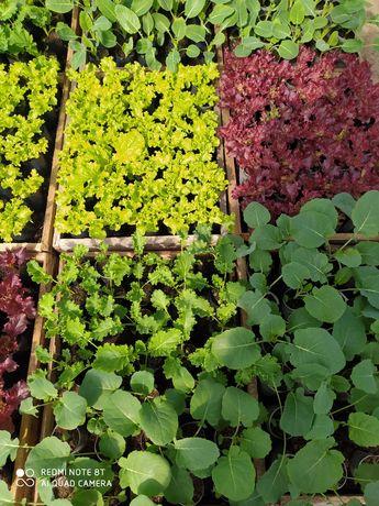 Rozsada warzyw seler, por, kalarepa, kapusta, sałata