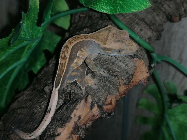 Młody gekon orzęsiony - full pinstripe