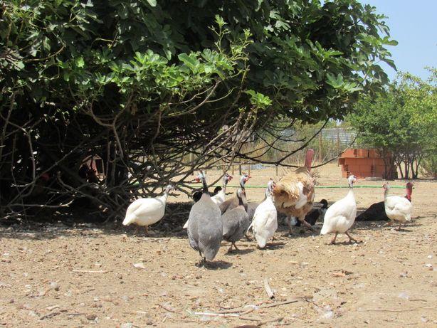 Fracas (galinhas de Angola)