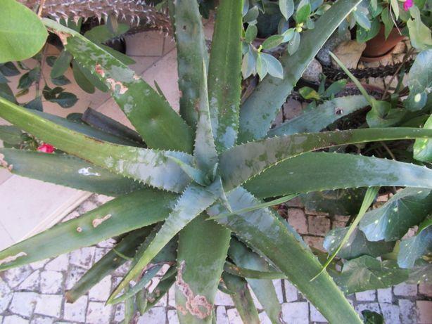 Plantas suculentas, aloé vera.