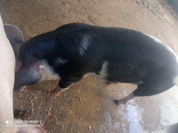 Vende-se 2 Porcos