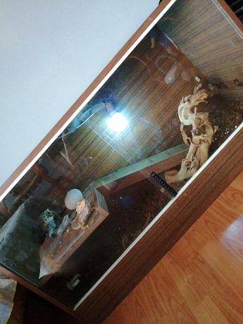 Agama brodata z terrarium